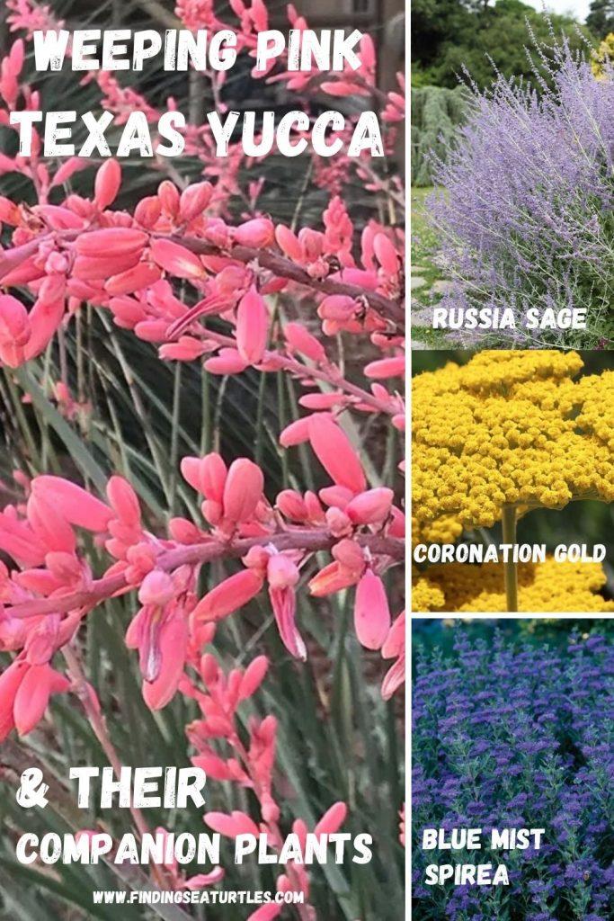 Weeping Pink Texas Yucca Weeping Pink Texas Yucca & their companion plants #FlowerKisser #WeepingPinkTexasYucca #Gardening #SummerFlowers #BeneficialForPollinators #BeeFriendly #AttractsHummingbirds