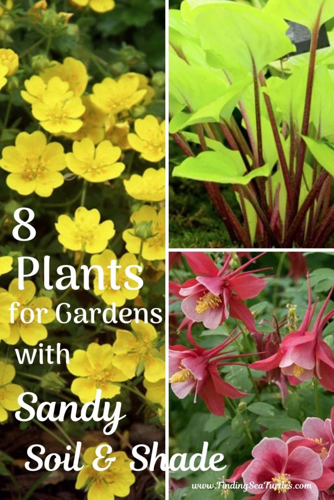 8 Plants for Gardens with Sandy Soil Shade #SandySoil #SandySoilPlants #Perennials #Gardening #PlantsForSandySoil #SandySoilSolutions #Landscaping