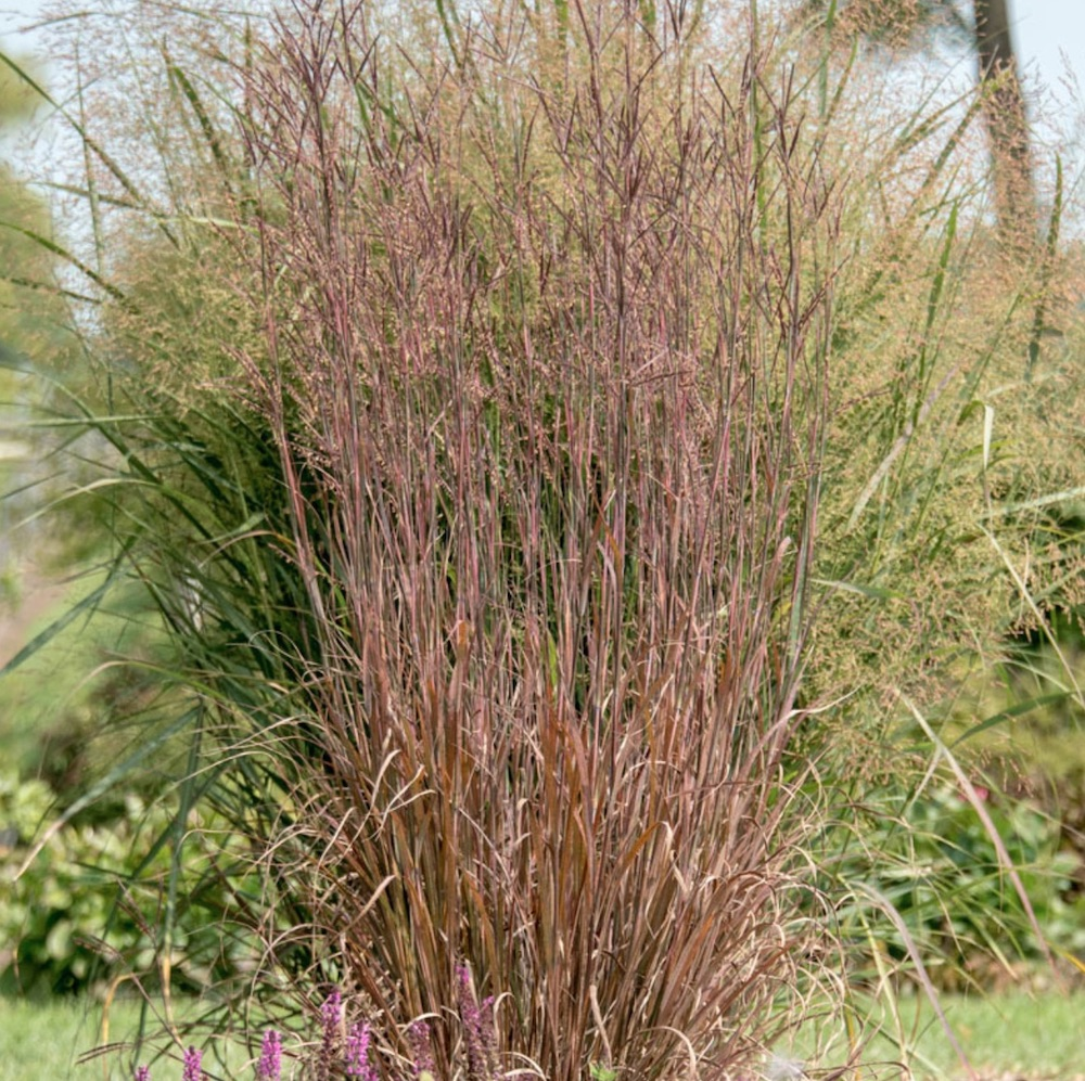Ornamental Grasses that Grow in Sandy Soil and Sun Blackhawks Big Bluestem #SandySoil #SandySoilOrnamentalGrasses #OrnamentalGrasses #Gardening #GrassesForSandySoil #SandySoilSolutions #Landscaping