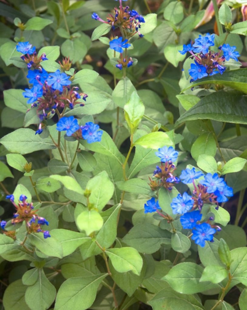 Brilliant Blues Ceratostigma Plumbaginoides #SandySoil #SandySoilPlants #Perennials #Gardening #PlantsForSandySoil #SandySoilSolutions #Landscaping