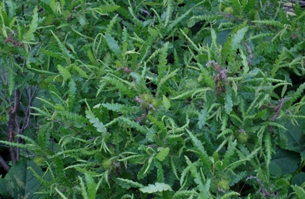 Sandy Soil Tolerant Comptonia peregrina Sweet Fern #SandySoil #SandySoilShrubs #Perennials #Shrubs #Gardening #ShrubsForSandySoil #SandySoilSolutions #Landscaping
