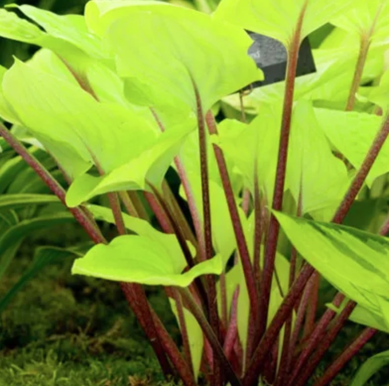 Shade Loving Fire Island Hosta #SandySoil #SandySoilPlants #Perennials #Gardening #PlantsForSandySoil #SandySoilSolutions #Landscaping