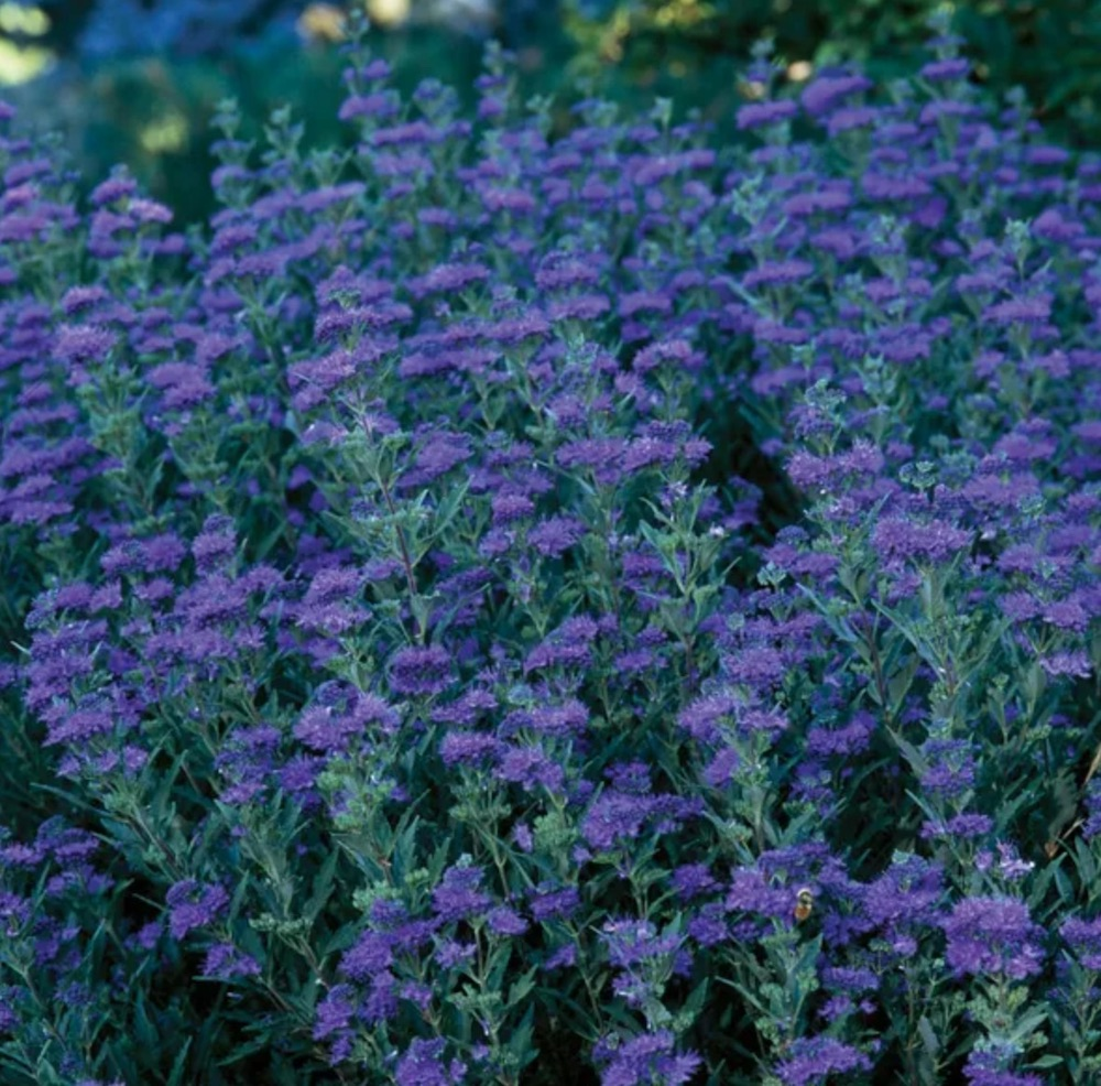 Beneficial for Pollinators First Choice Caryopteris #SandySoil #SandySoilShrubs #Perennials #Shrubs #Gardening #ShrubsForSandySoil #SandySoilSolutions #Landscaping