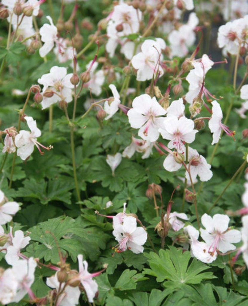 Beneficial to Pollinators Geranium Biokovo #SandySoil #SandySoilPlants #Perennials #Gardening #PlantsForSandySoil #SandySoilSolutions #Landscaping