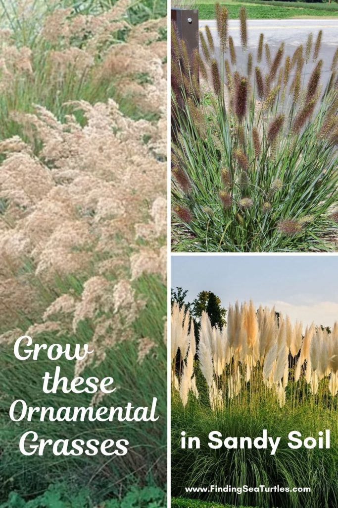 Grow these Ornamental Grasses in Sandy Soil #SandySoil #SandySoilOrnamentalGrasses #OrnamentalGrasses #Gardening #GrassesForSandySoil #SandySoilSolutions #Landscaping