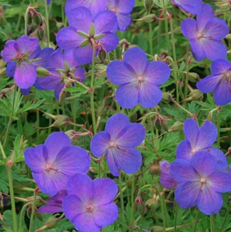 Attracts Butterflies Johnson's Blue Geranium #SandySoil #SandySoilPlants #Perennials #Gardening #PlantsForSandySoil #SandySoilSolutions #Landscaping