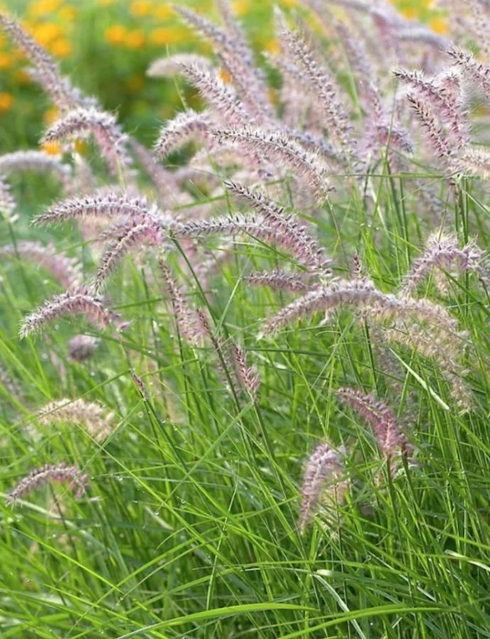 Ornamental Grasses that Grow in Sandy Soil and Sun