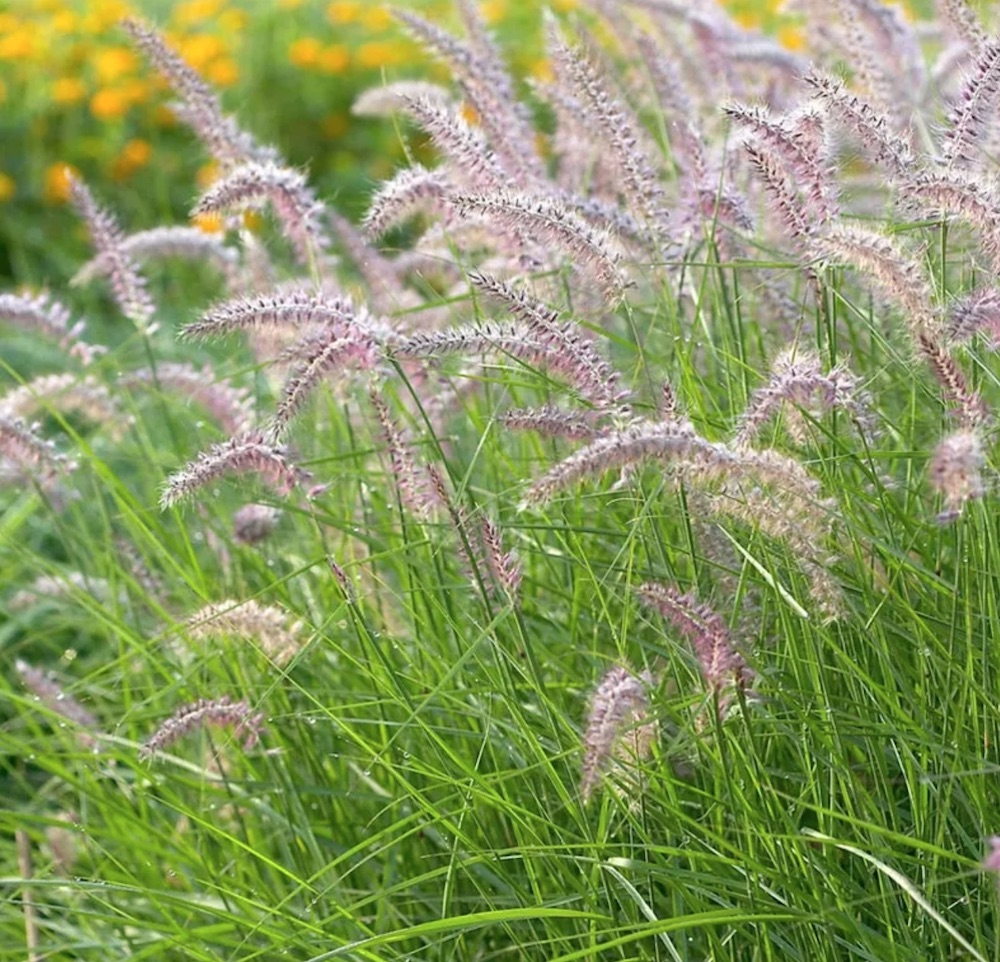 Attracts Birds Karley Rose Fountain Grass #SandySoil #SandySoilOrnamentalGrasses #OrnamentalGrasses #Gardening #GrassesForSandySoil #SandySoilSolutions #Landscaping