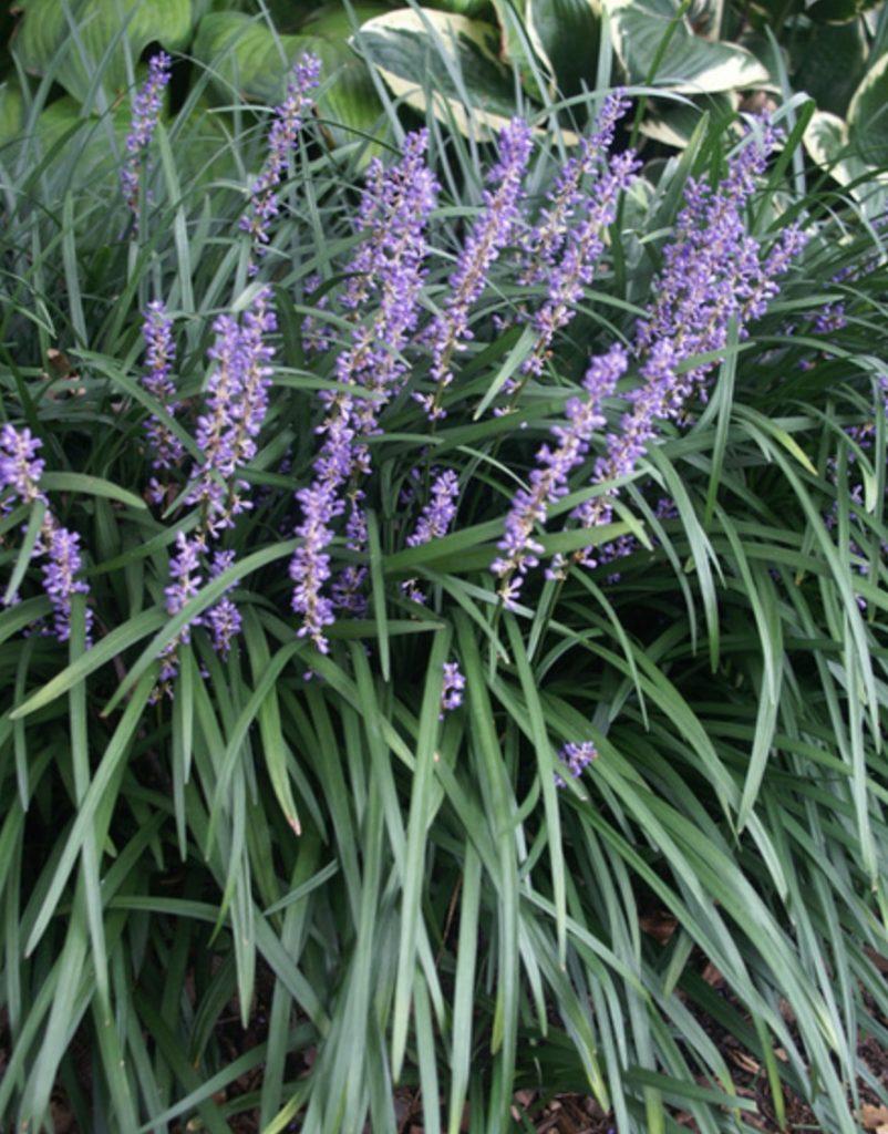 Shade Loving Liriope muscari Big Blue #SandySoil #SandySoilPlants #Perennials #Gardening #PlantsForSandySoil #SandySoilSolutions #Landscaping