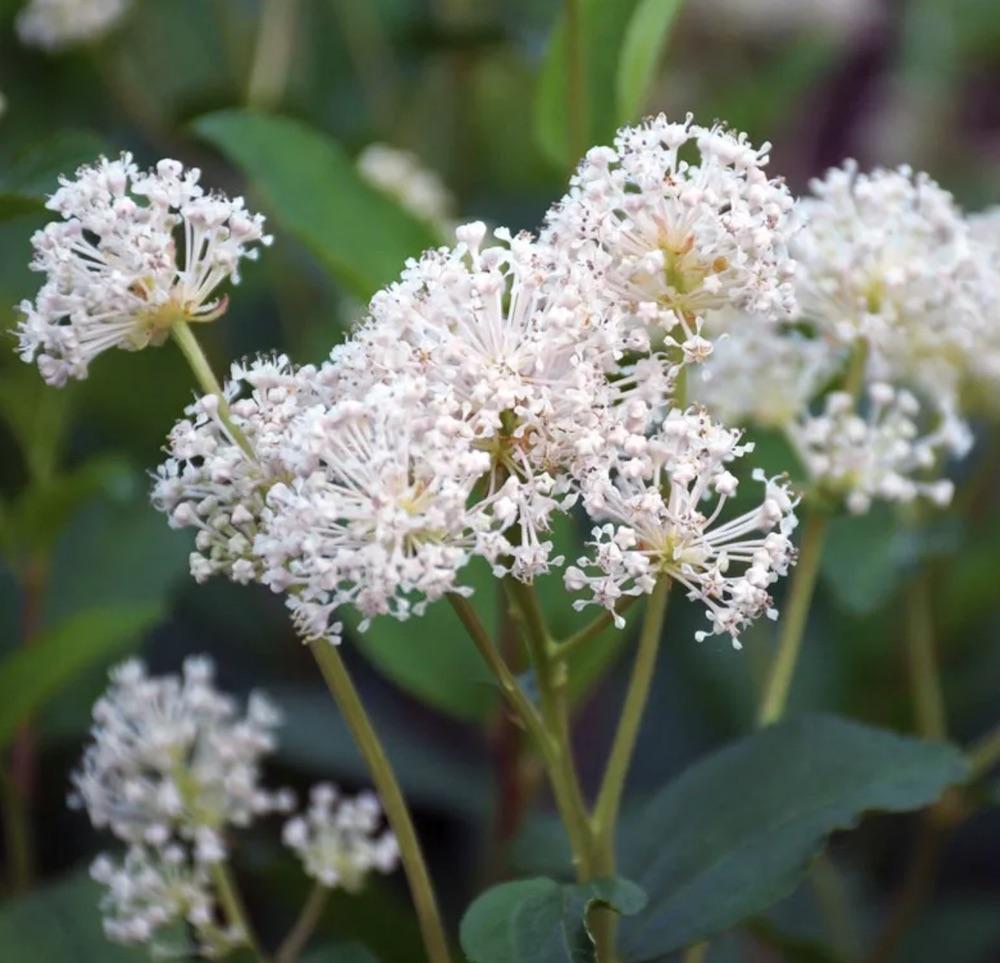 Attracts Hummingbirds New Jersey Tea Plant #SandySoil #SandySoilShrubs #Perennials #Shrubs #Gardening #ShrubsForSandySoil #SandySoilSolutions #Landscaping