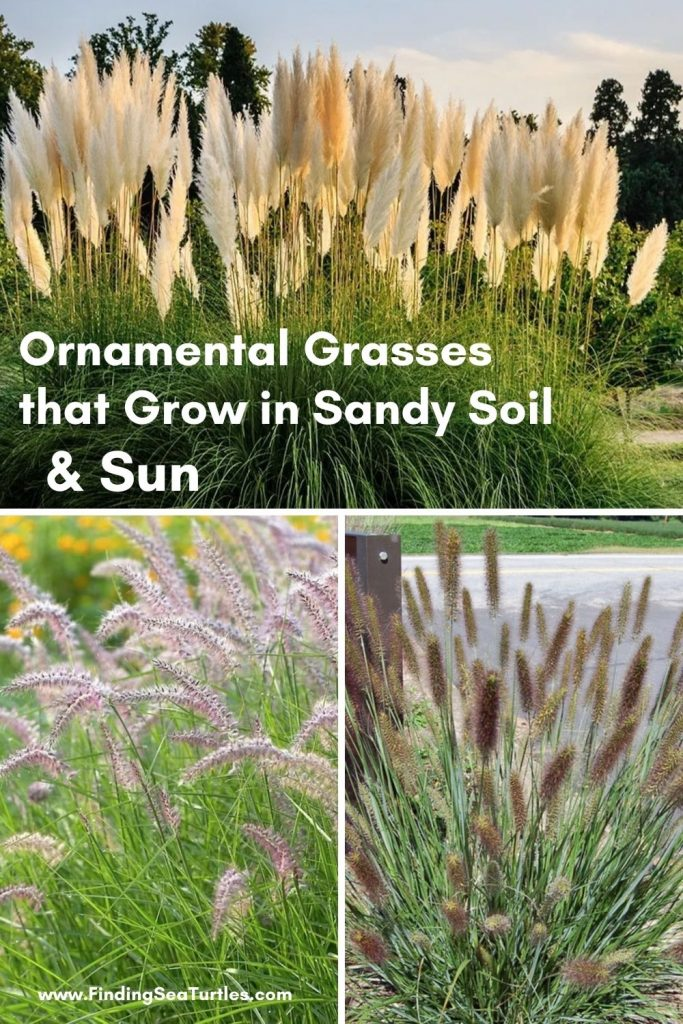 Ornamental Grasses that grow in Sandy Soil Sun #SandySoil #SandySoilOrnamentalGrasses #OrnamentalGrasses #Gardening #GrassesForSandySoil #SandySoilSolutions #Landscaping