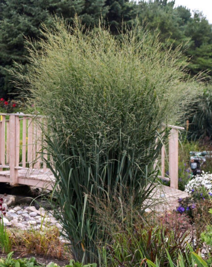 Attracts Birds Panicum virgatum Totem Pole #SandySoil #SandySoilOrnamentalGrasses #OrnamentalGrasses #Gardening #GrassesForSandySoil #SandySoilSolutions #Landscaping