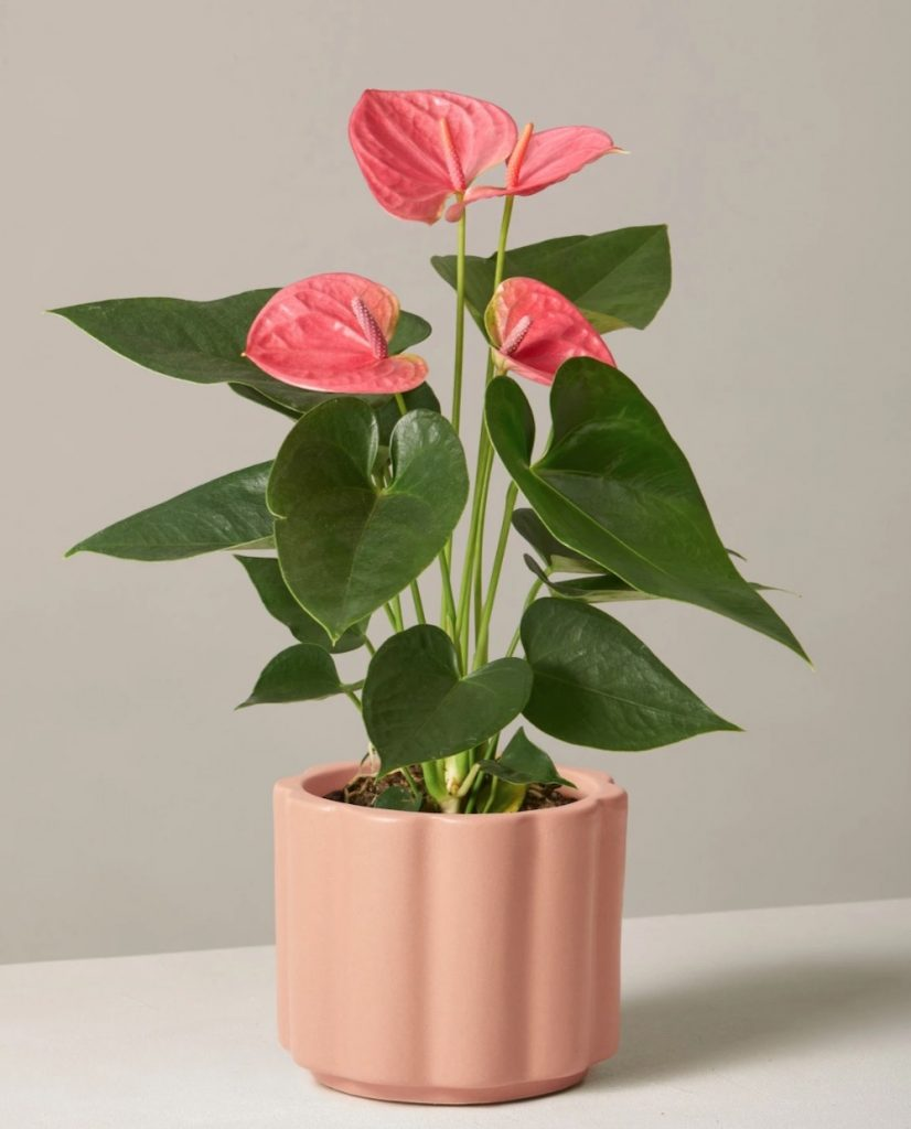 Best Valentine's Flowers and Plants Pink Anthurium by The Sill #flowers #FlowerDelivery #bouquets #OnlineFlowers #FlowersOnline #ValentinesDay #ValentinesFlowers #SendFlowers