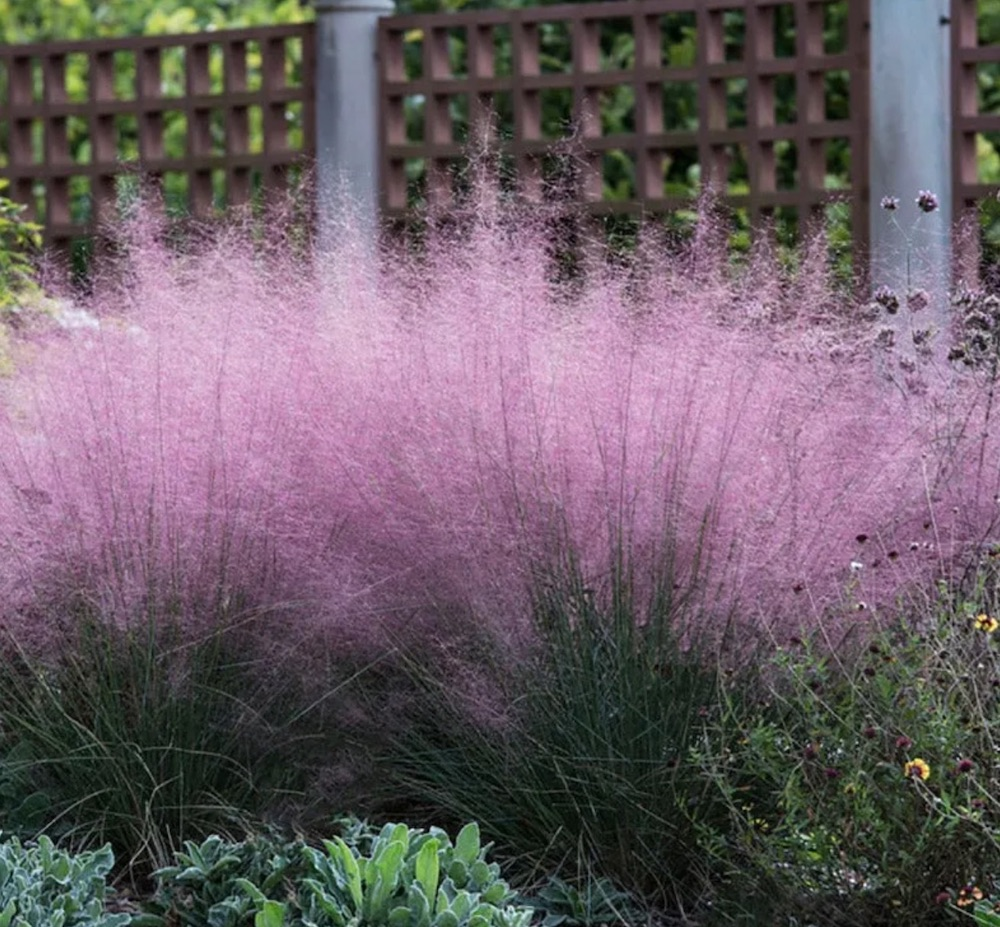 Attracts Birds Pink Cloud Muhly Grass #SandySoil #SandySoilOrnamentalGrasses #OrnamentalGrasses #Gardening #GrassesForSandySoil #SandySoilSolutions #Landscaping