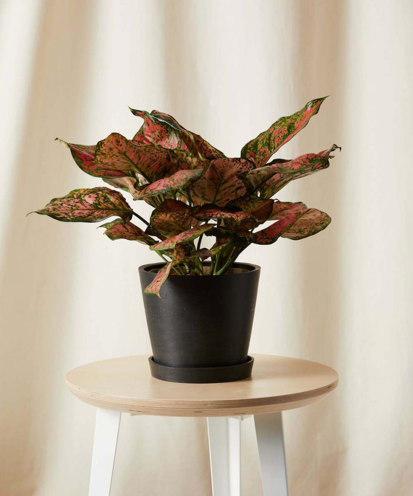 Best Valentine's Flowers and Plants Pink Splash Aglaonema by Bloomscape #flowers #FlowerDelivery #bouquets #OnlineFlowers #FlowersOnline #ValentinesDay #ValentinesFlowers #SendFlowers