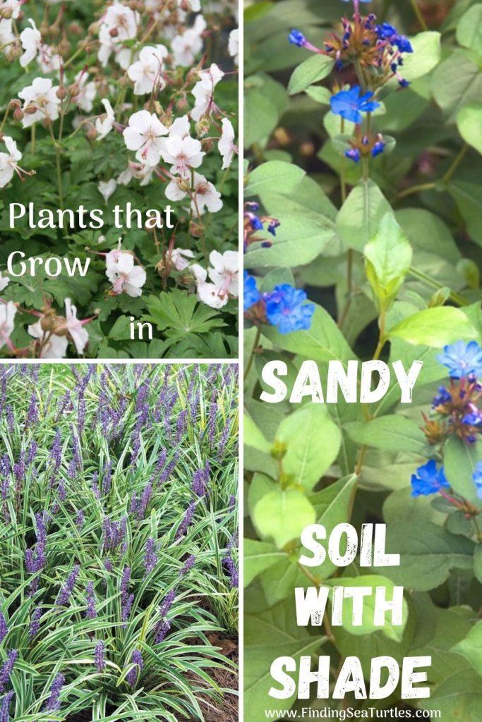 Plants that grow in Sandy Soil with Shade #SandySoil #SandySoilPlants #Perennials #Gardening #PlantsForSandySoil #SandySoilSolutions #Landscaping