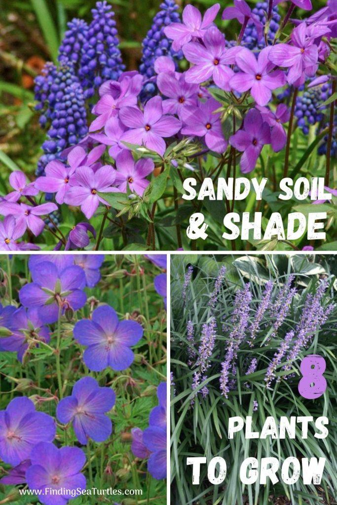 Sandy Soil and Shade 8 Plants to Grow #SandySoil #SandySoilPlants #Perennials #Gardening #PlantsForSandySoil #SandySoilSolutions #Landscaping