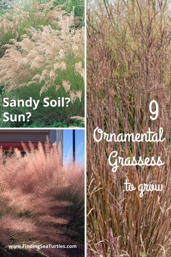 Sandy Soil Sun 9 Ornamental Grasses to grow #SandySoil #SandySoilOrnamentalGrasses #OrnamentalGrasses #Gardening #GrassesForSandySoil #SandySoilSolutions #Landscaping
