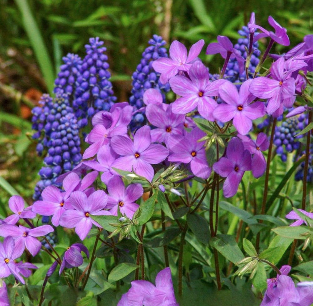 Woodland Gardens Sherwood Purple Woodland Phlox #SandySoil #SandySoilPlants #Perennials #Gardening #PlantsForSandySoil #SandySoilSolutions #Landscaping