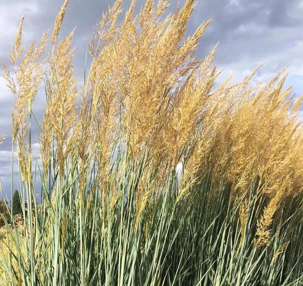 Native Plant Thin Man Indian Grass #SandySoil #SandySoilOrnamentalGrasses #OrnamentalGrasses #Gardening #GrassesForSandySoil #SandySoilSolutions #Landscaping