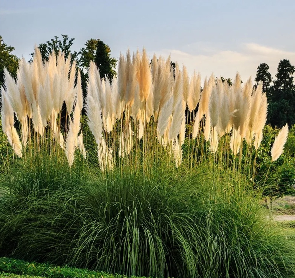 Ornamental Grasses that Grow in Sandy Soil and Sun White Feather Pampas Grass #SandySoil #SandySoilOrnamentalGrasses #OrnamentalGrasses #Gardening #GrassesForSandySoil #SandySoilSolutions #Landscaping