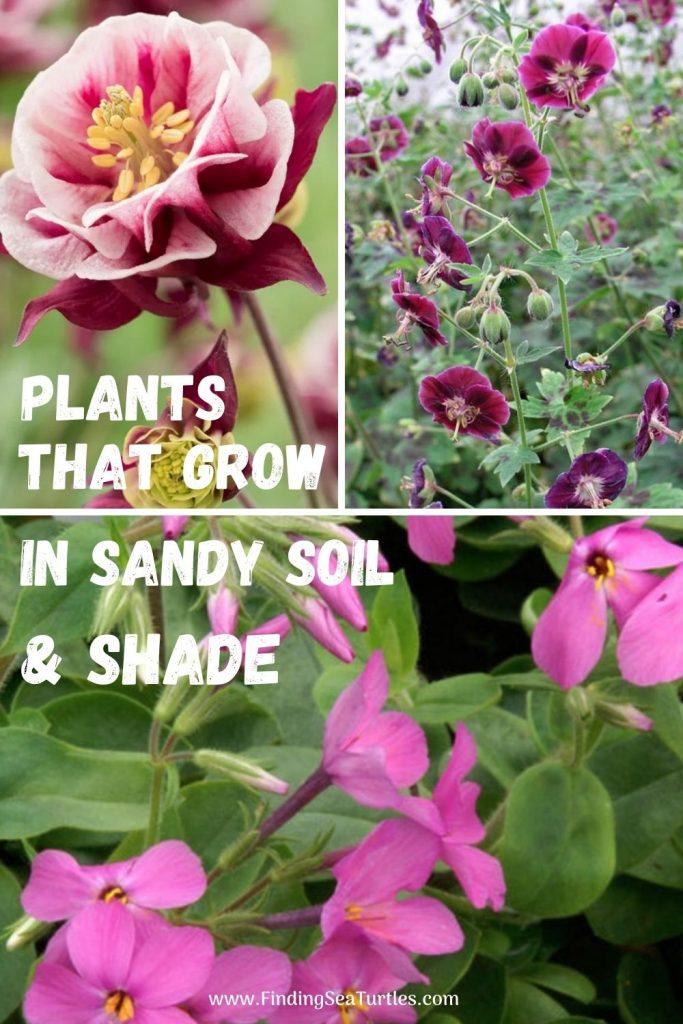 plants that grow in sandy soil and shade #SandySoil #SandySoilPlants #Perennials #Gardening #PlantsForSandySoil #SandySoilSolutions #Landscaping