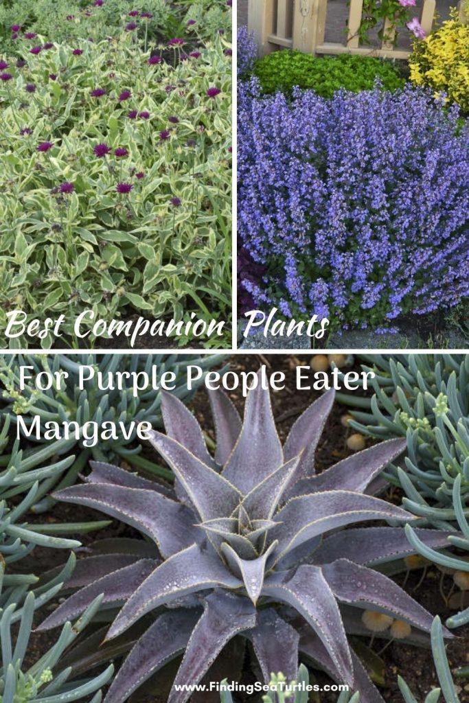 Best Companion Plants for Purple People Eater Mangave #Mangave #PurplePeopleEaterMangave #CompanionPlants #CompanionsPurplePeopleEater #Garden #Gardening #MadAboutMangave #EasyToGrow #LowMaintenance #DroughtTolerant #Succulent #WaltersGardensInc
