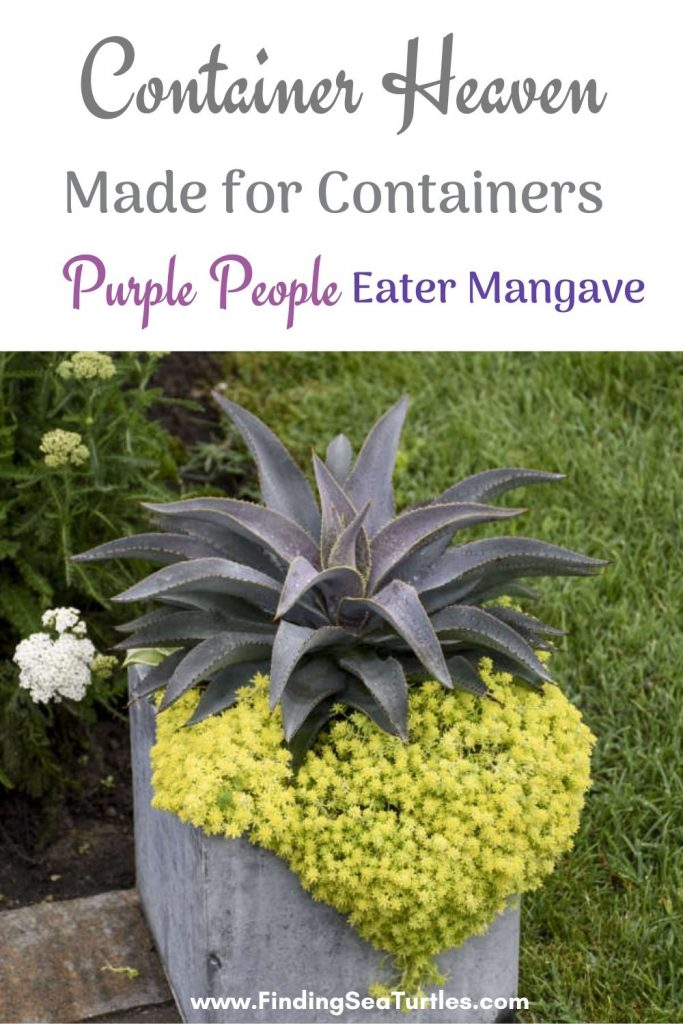 CONTAINER Heaven Made for Containers Purple People Eater Mangave #Mangave #PurplePeopleEaterMangave #Garden #Gardening #MadAboutMangave #EasyToGrow #LowMaintenance #DroughtTolerant #Succulent #WaltersGardensInc