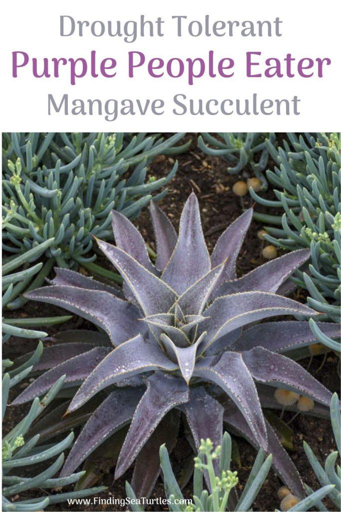 Drought Tolerant Purple People Eater Mangave Succulent #Mangave #PurplePeopleEaterMangave #Garden #Gardening #MadAboutMangave #EasyToGrow #LowMaintenance #DroughtTolerant #Succulent #WaltersGardensInc