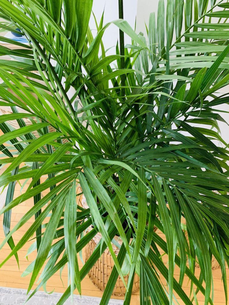 Grow Majestic Palm Fronds of the Majesty Palm #Palms #MajestyPalm #IndoorPlants #HousePlants #Solutions #GrowMajestyPalm #GoGreen