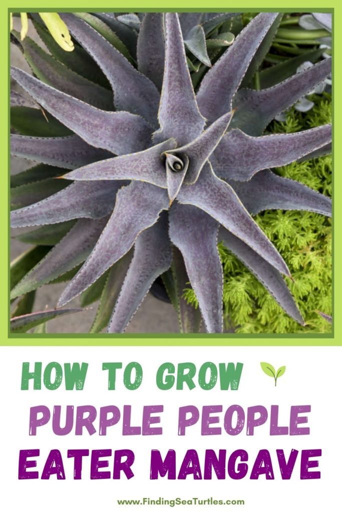 How to Grow Purple People Eater Mangave #Mangave #PurplePeopleEaterMangave #Garden #Gardening #MadAboutMangave #EasyToGrow #LowMaintenance #DroughtTolerant #Succulent #WaltersGardensInc