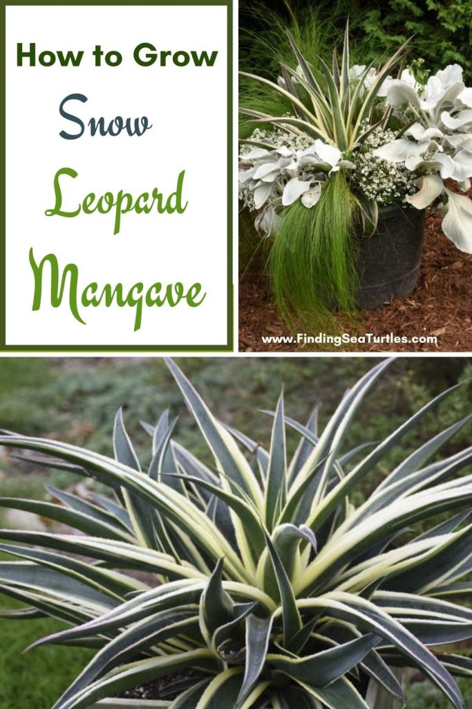 How to Grow Snow Leopard Mangave #Mangave #SnowLeopardMangave #Garden #Gardening #MadAboutMangave #EasyToGrow #ContainerGardening #DroughtTolerant #Succulent #WaltersGardensInc