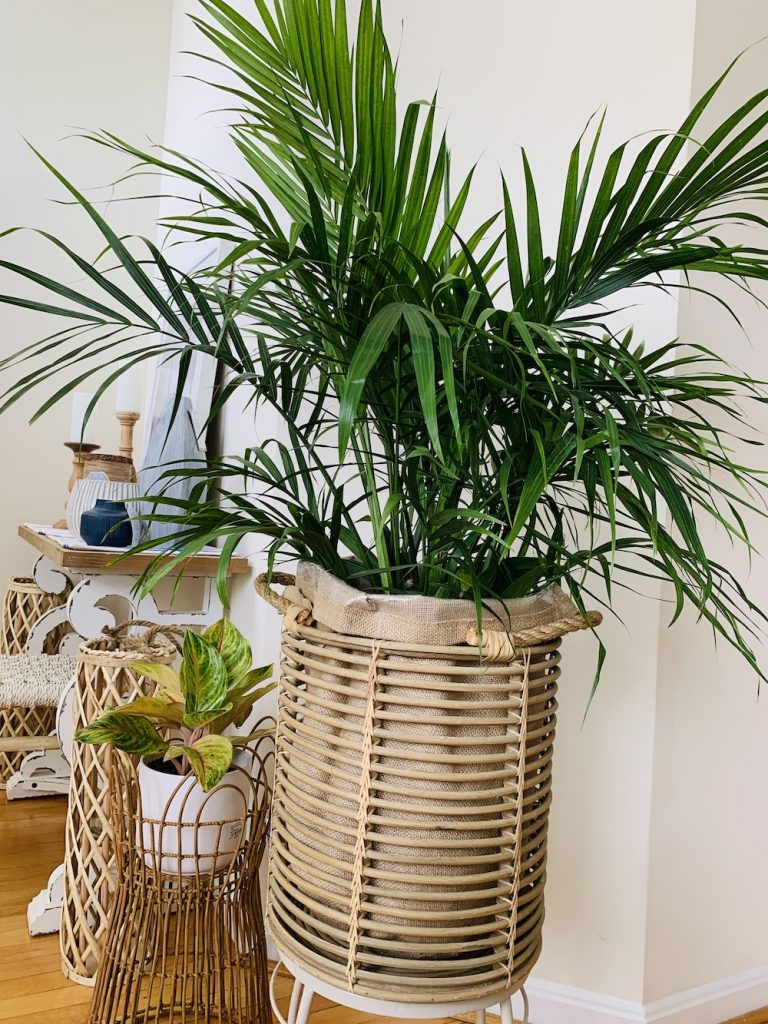 Majesty Palm 1 #Palms #MajestyPalm #IndoorPlants #HousePlants #Solutions #GrowMajestyPalm #GoGreen