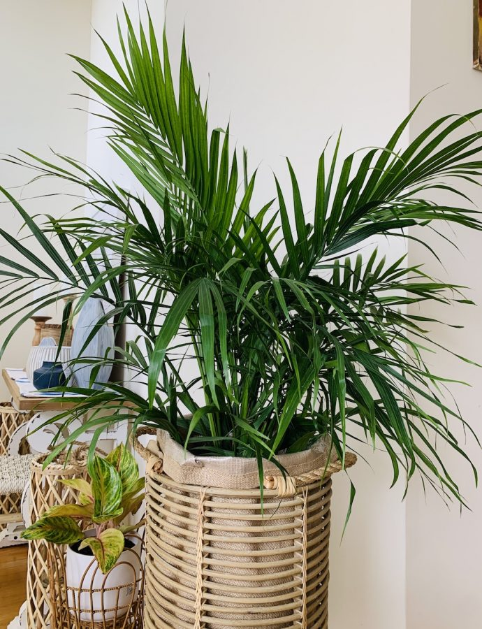 How to Grow Majesty Palm for a Tropical Look