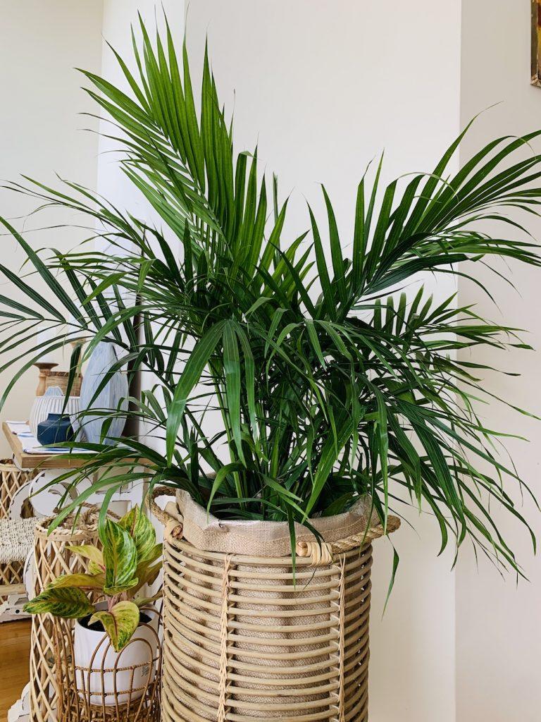 Indoor Garden 3 #Palms #MajestyPalm #IndoorPlants #HousePlants #Solutions #GrowMajestyPalm #GoGreen