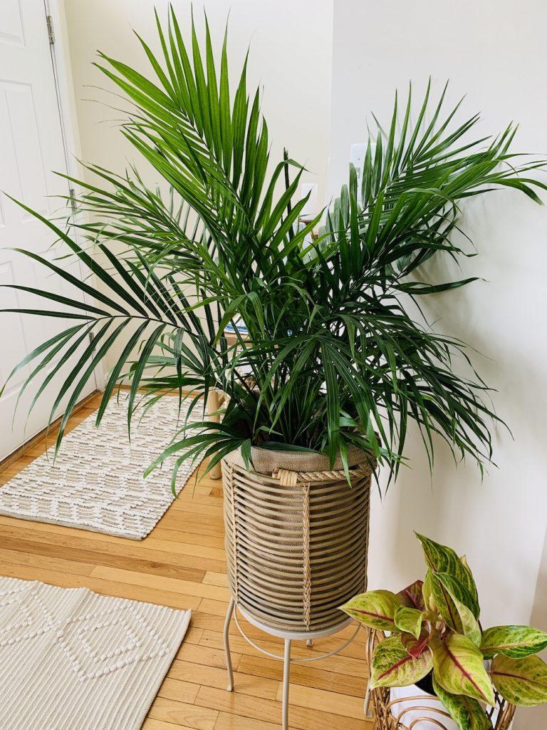 Indoor Garden 4 #Palms #MajestyPalm #IndoorPlants #HousePlants #Solutions #GrowMajestyPalm #GoGreen
