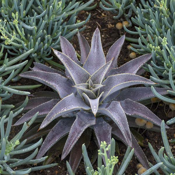 Succulent - Walters Gardens, Inc #Mangave #PurplePeopleEaterMangave #Garden #Gardening #MadAboutMangave #EasyToGrow #LowMaintenance #DroughtTolerant #Succulent #WaltersGardensInc
