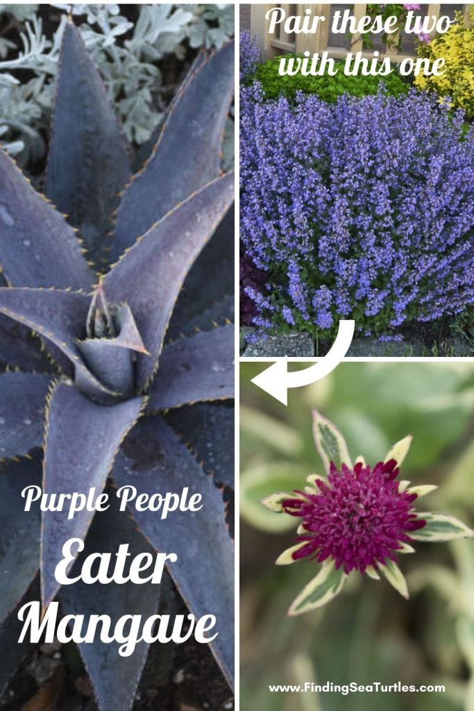 Pair these two with this one Purple People Eater Mangave #Mangave #PurplePeopleEaterMangave #CompanionPlants #CompanionsPurplePeopleEater #Garden #Gardening #MadAboutMangave #EasyToGrow #LowMaintenance #DroughtTolerant #Succulent #WaltersGardensInc