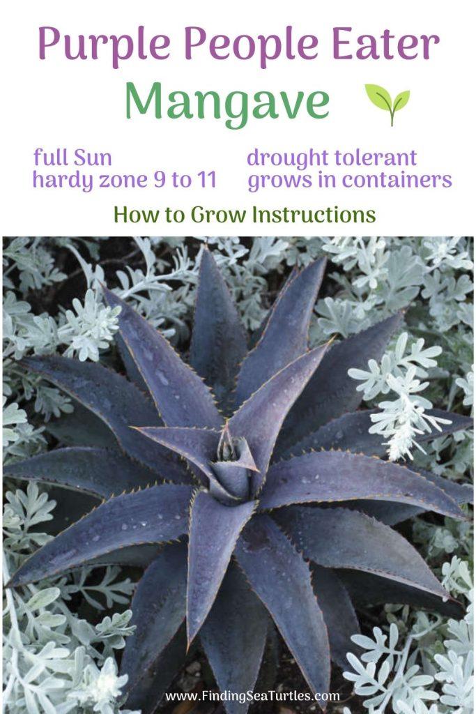 Purple People Eater Mangave Full Sun #Mangave #PurplePeopleEaterMangave #Garden #Gardening #MadAboutMangave #EasyToGrow #LowMaintenance #DroughtTolerant #Succulent #WaltersGardensInc