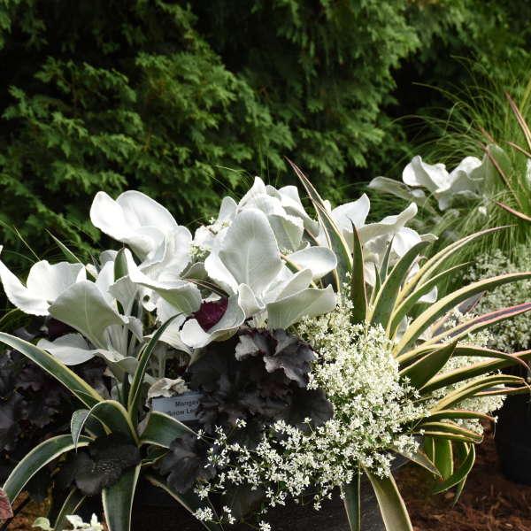 photo by Walters Gardens Inc #Mangave #SnowLeopardMangave #Garden #Gardening #MadAboutMangave #EasyToGrow #ContainerGardening #DroughtTolerant #Succulent #WaltersGardensInc