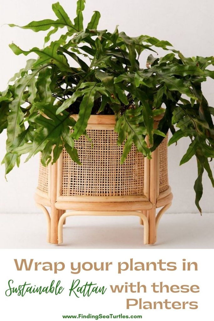 Wrap your plants in Sustainable Rattan with these Planters #Coastal #Boho #Planters #PotPlanters #RattanPotPlanters #CoastalDecor #CoastalHome #CoastalLiving #GoGreen #GreenLiving #Sustainable #EcoFriendly #BohoDecor