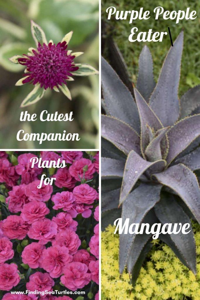 the Cutest Companion Plants for Purple People Eater Mangave #Mangave #PurplePeopleEaterMangave #CompanionPlants #CompanionsPurplePeopleEater #Garden #Gardening #MadAboutMangave #EasyToGrow #LowMaintenance #DroughtTolerant #Succulent #WaltersGardensInc